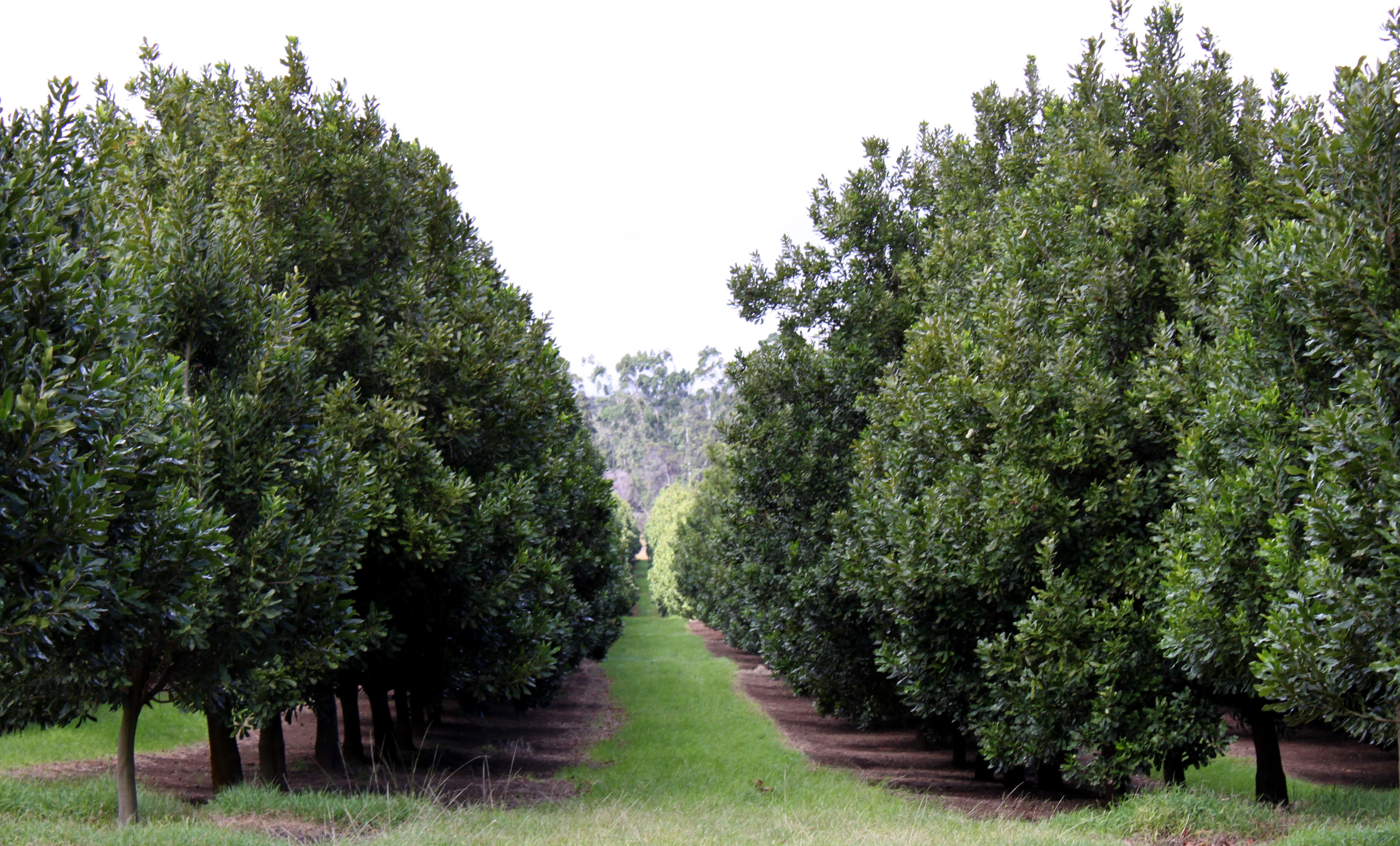 How The Macadamia Nut Helps Hawaii